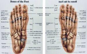 voetenskelet sengers podotherapie wijchen
