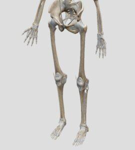 voetskelet sengers podotherapie